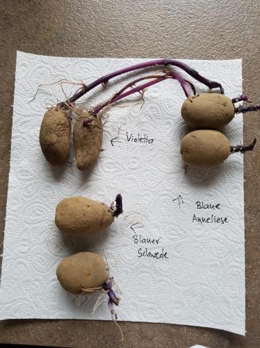 Blaue Kartoffeln